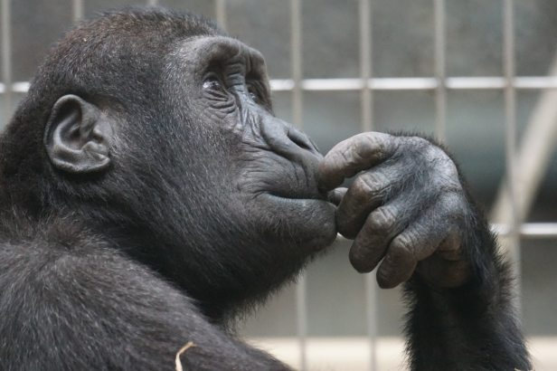 thinking- chimp